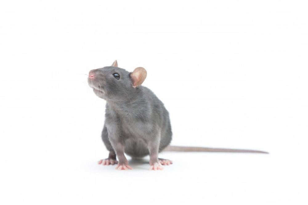 Rat Rodent control Services karachi