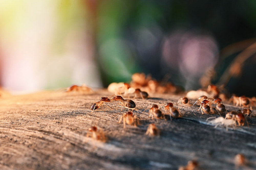 Termite Pest control services karachi